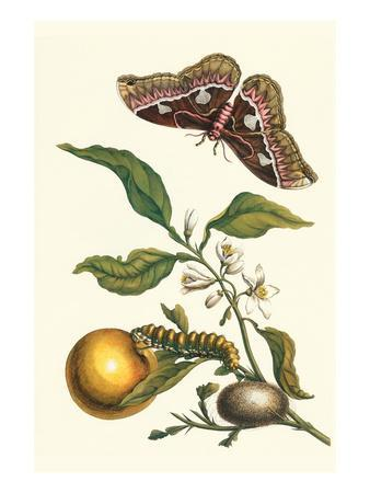 Seville Orange with a Golden Rothschild Butterfly-Maria Sibylla Merian-Premium Giclee Print