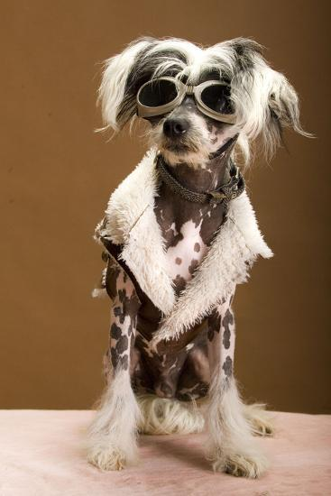 Sexy Chinese Crested Hairless Sporting A Cool Coat And Glasses- Candicecunningham-Photographic Print