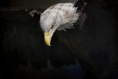 Shadow Hunter Bald Eagle-Jai Johnson-Giclee Print