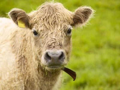 Shaggy Cow with Yellow Ear Tag Standing in Green Pasture--Photographic Print