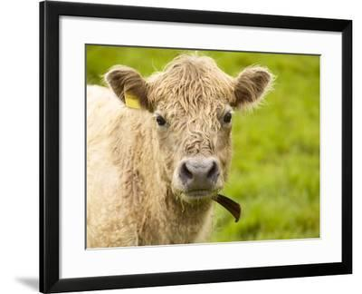 Shaggy Cow with Yellow Ear Tag Standing in Green Pasture--Framed Photographic Print