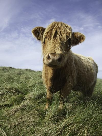 Shaggy haired highland cow-Macduff Everton-Photographic Print