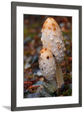 Shaggy mane mushroom, Coprinus comatus, an edible mushroom.-Donna O'Meara-Framed Photographic Print