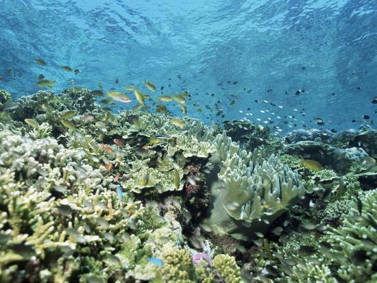Shallow Top of the Reef is Nursery for Young Fish, Sabah, Malaysia, Southeast Asia-Lousie Murray-Photographic Print