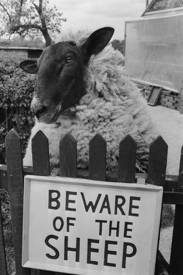 Shambles the Sheep-Cole-Photographic Print