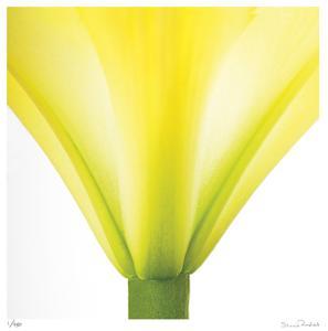 Yellow Green Lily Abstract No 338 by Shams Rasheed