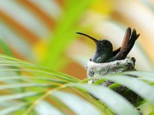Rufous-Tailed Hummingbird (Amazilia Tzacatl) Sitting in Nest by Shannon Nace