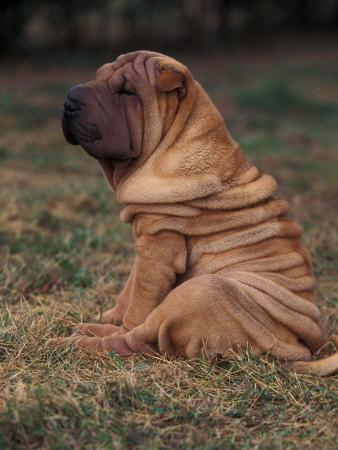 https://imgc.artprintimages.com/img/print/shar-pei-puppy-sitting-down-with-wrinkles-on-back-clearly-visible_u-l-q10o2mh0.jpg?p=0