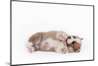 Puppy Welsh Corgi Pembroke by Shar2