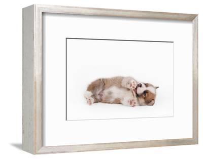 Puppy Welsh Corgi Pembroke