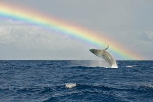 Humpback Whale Rainbow Breach by share your experiences