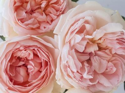 https://imgc.artprintimages.com/img/print/sharifa-roses_u-l-pzluxf0.jpg?p=0