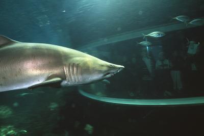 Shark In Aquarium-Alexis Rosenfeld-Photographic Print