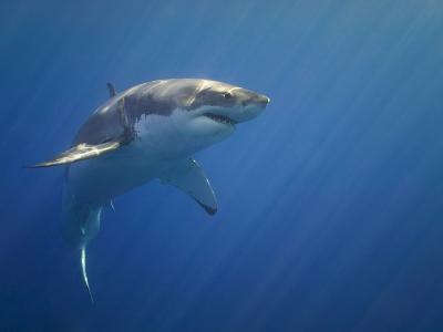 Shark in Open Water-Tim Davis-Photographic Print