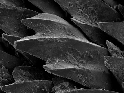 Shark Skin Scale--Photographic Print