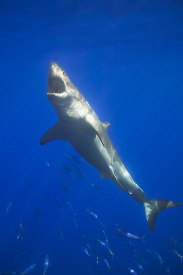 Shark Swimming with School of Fish-DLILLC-Photographic Print
