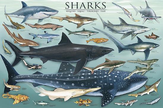 Sharks-Unknown-Art Print