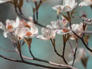 Dogwood Spring IV by Sharon Chandler