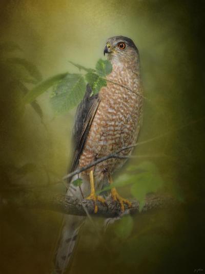 Sharp Shinned Hawk-Jai Johnson-Giclee Print