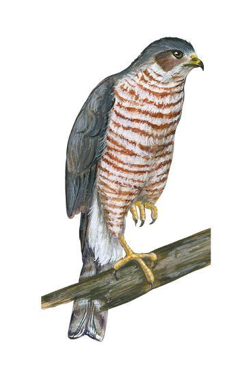 Sharp-Skinned Hawk (Accipiter Striatus), Birds-Encyclopaedia Britannica-Art Print