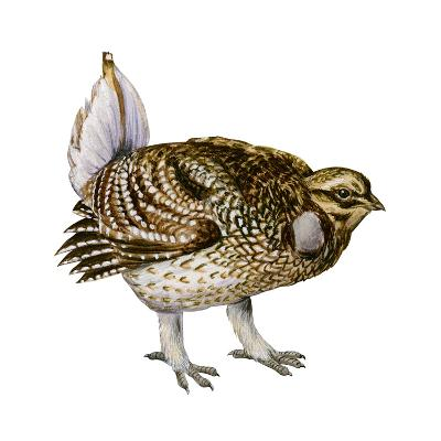 Sharp-Tailed Grouse (Tympanuchus Phasianellus), Birds-Encyclopaedia Britannica-Art Print