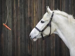 Carrot Dangling in Front of Horse by Shawn Frederick