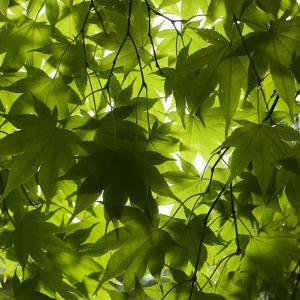 Leaves and Patterns at Hokkaido University Forest by Shayne Hill