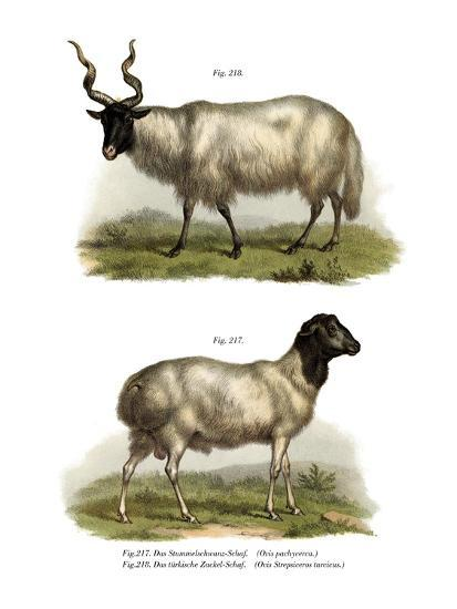 Sheep, 1860--Giclee Print