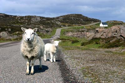 Sheep and Lamb, Applecross Peninsula, Highland, Scotland-Peter Thompson-Photographic Print