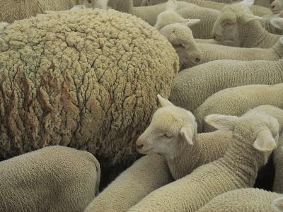 Sheep and Lambs in Pen-Joel Sartore-Photographic Print