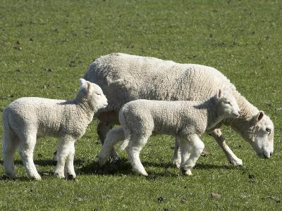 Sheep and Lambs, Near Dunedin, Otago, South Island, New Zealand-David Wall-Photographic Print