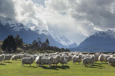 Sheep and Mountains Near Glenorchy, Queenstown, South Island, New Zealand, Pacific- Nick-Photographic Print