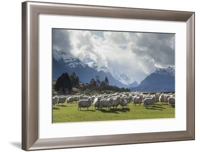 Sheep and Mountains Near Glenorchy, Queenstown, South Island, New Zealand, Pacific- Nick-Framed Photographic Print