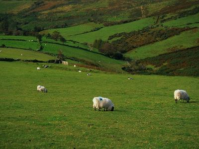 Sheep and Stone Walls in Green Pastures-Richard Cummins-Photographic Print