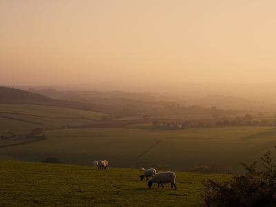 Sheep at Sunset, Near Sidmouth, Devon, England, United Kingdom, Europe-Jeremy Lightfoot-Photographic Print