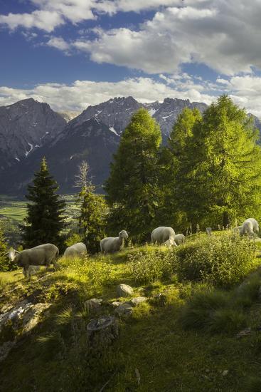 Sheep at the Iselsberg, Lienz Dolomites, East Tyrol, Tyrol, Austria-Rainer Mirau-Photographic Print