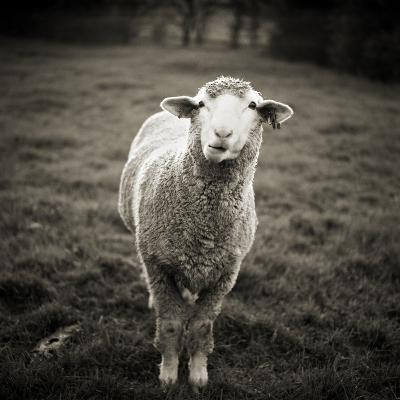 Sheep Chewing Cud-Danielle D. Hughson-Photographic Print
