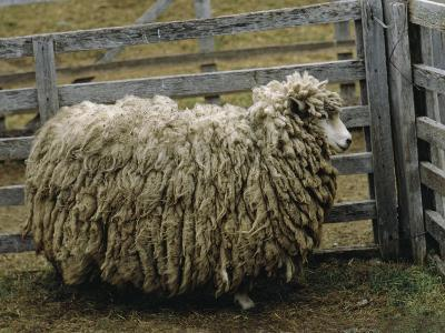 Sheep Covered in Wool, Harberton, Argentina-James L^ Stanfield-Photographic Print