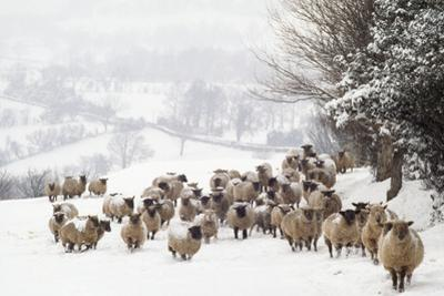 Sheep Crossbreds in Snow