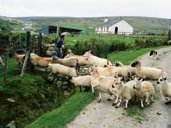 Sheep Crossing Road, Ireland-Holger Leue-Photographic Print