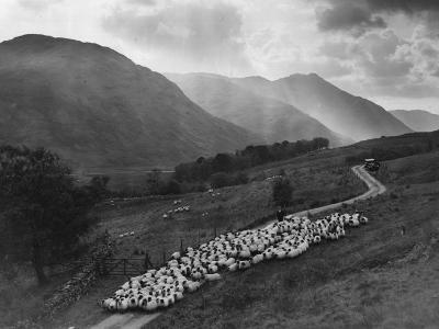 Sheep Drive--Photographic Print