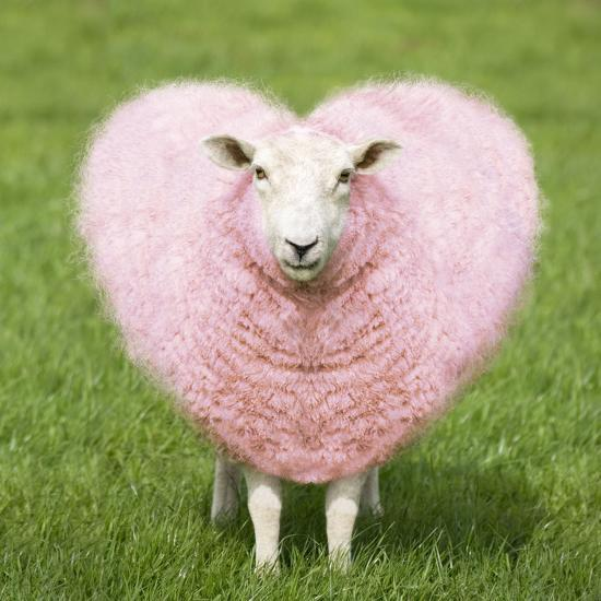 Sheep Ewe Pink Heart Shaped Wool Photographic Print by   Art com