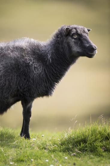 Sheep, Faeroese,-olbor-Photographic Print