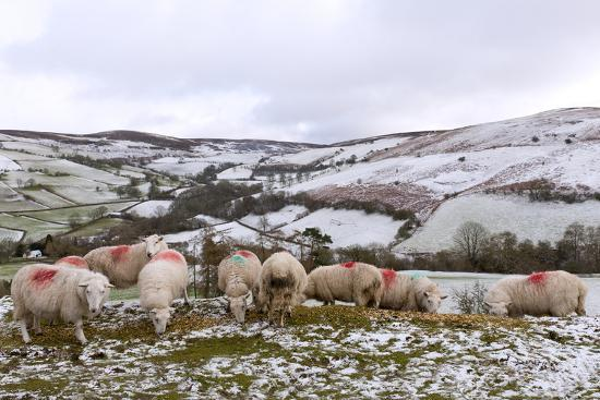 Sheep Feed on High Moorland in a Wintry Landscape in Powys, Wales, United Kingdom, Europe-Graham Lawrence-Photographic Print