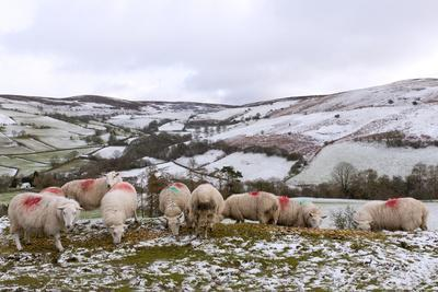 https://imgc.artprintimages.com/img/print/sheep-feed-on-high-moorland-in-a-wintry-landscape-in-powys-wales-united-kingdom-europe_u-l-q12ss7p0.jpg?p=0
