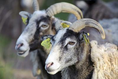 Sheep From Gotland, Sweden-Bjorn Svensson-Photographic Print