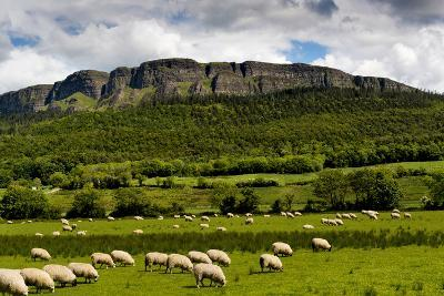 Sheep Graze Below Binevenagh Mountain in Roe Valley, County Londonderry, Northern Ireland-Chris Hill-Photographic Print