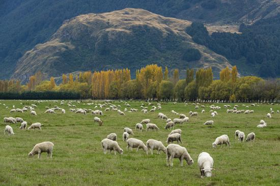 Sheep Graze in a Pasture in Mount Aspiring National Park-Michael Melford-Photographic Print