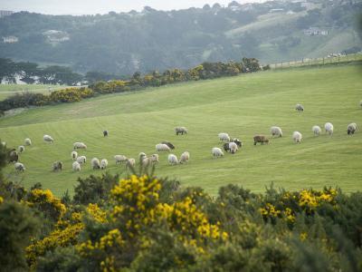 Sheep Graze on the Otago Peninsula Hillside-Bill Hatcher-Photographic Print