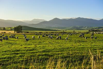 Sheep Grazing at Sunset, Queenstown, Otago, South Island, New Zealand, Pacific-Michael Runkel-Photographic Print